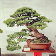 "27 Likes, 1 Comments - Hao Lung (@lung.hao) on Instagram: ""美麗的五葉松。 #盆栽 #盆景 #bonsai #pinus_morrisonicola #Taiwan_bonsai"""