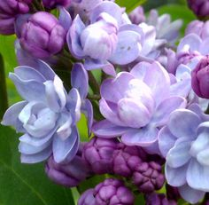 Lilacs: Plant Care and Collection of Varieties - Garden.org