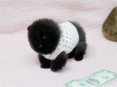 Omg what is this!?! Adorable teacup Pomeranian?! black, cuteness, fluffball, fluffy, furry, fuzzy, pom, Teacup Puppies, teddy bear, tiny