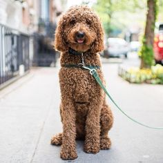 Koufax, Standard Poodle (2 y/o), Greenwich & Bethune St, New York, NY #Poodles