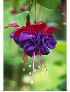 red & purple fuchsia
