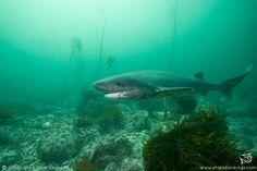 7 gill cow shark ♡