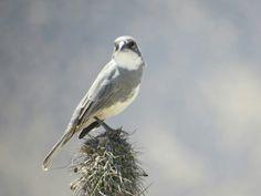 Diuca Bird, Animals, Animales, Animaux, Birds, Animal, Animais, Dieren