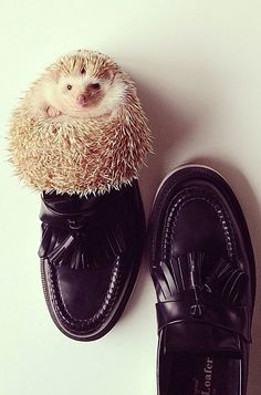 Cute and fashionable pets of Instagram: a hedgehog in loafers