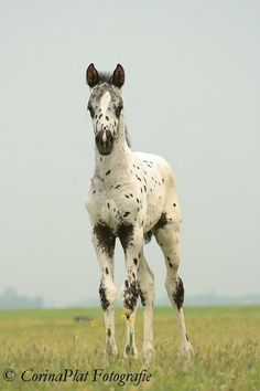 Splashy Black Leopard Appaloosa Foal.