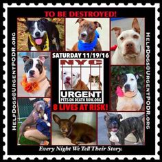 "8 BEAUTIFUL LIVES TO BE DESTROYED 11/19/16  @ NYC ACC **SO MANY GREAT DOGS HAVE BEEN KILLED: Puppies, Throw Away Mamas, Good Family Dogs. This is a HIGH KILL ""CARE CENTER"" w/ POOR LIVING CONDITIONS.  Please Share:    To rescue a Death Row Dog, Please read this: http://information.urgentpodr.org/adoption-info-and-list-of-rescues/"