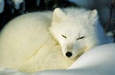 Arctic Fox - photo by Norbert Rosing