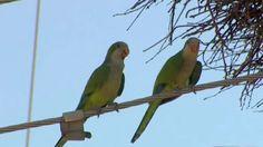 Wild Quaker Parrots of Tarrant County, Texas: