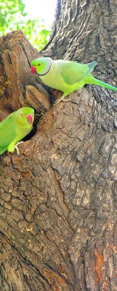 Check this out > Parakeets As Pets?