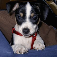 Jack Russell Terrier Amy als Welpe