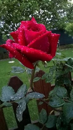 Rose with water droplets 🌹 Beautiful Rose Flowers, Beautiful Flowers Pictures, Beautiful Flowers Wallpapers, All Flowers, Flower Pictures, Exotic Flowers, Amazing Flowers, Beautiful Gardens, Hybrid Tea Roses