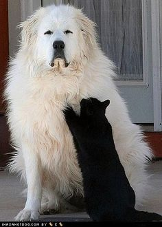The Great Pyrenees dog conveys the distinct impression of elegance and unsurpassed beauty combined with great overall size and majesty. In nature, the Great Pyrenees is confident, gentle, and. Big Fluffy Dogs, Big Dogs, Dogs And Puppies, Doggies, Funny Dogs, Cute Dogs, Animals Beautiful, Cute Animals, Great Pyrenees Dog