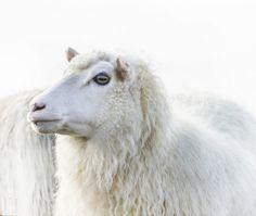 White sheep Farm Animals, Cute Animals, Sheep Face, Baa Baa Black Sheep, Cute Sheep, Baby Sheep, Animal Action, Counting Sheep, Sheep And Lamb