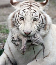 "Tiger cub rests in the ""lap"" of the mother in the zoo of Cali"