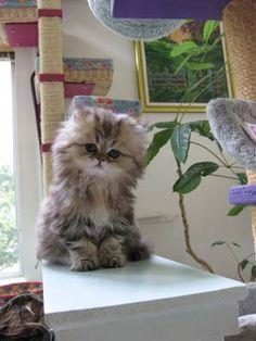 Mythicbells Persian Cats & Kittens