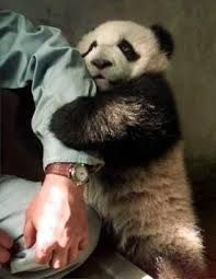 Have a panda cling on me.