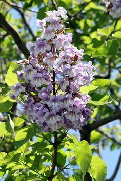 paulownia tomentosa by ~CASPER1830 on deviantART   Deze boom staat sinds 1,5 jaar in onze tuin. We hebben er alleen nog geen bloemen in gehad.