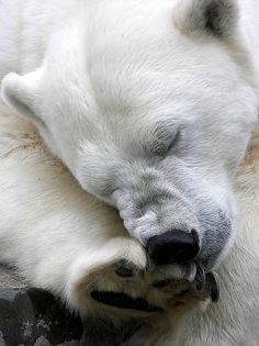 I wish polar bears didn't have vicious tendencies. I would love to hug one.