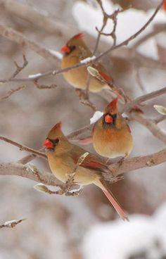 Female Cardinals in Winter