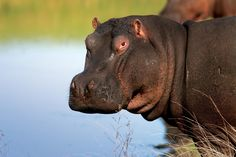 Did you know that hippos can hold their breath underwater for up to five minutes? Come to Africa: Underwater, Vacations, Safari, African, Crafts, Holidays, Manualidades, Vacation, Under The Water