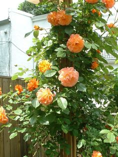 Rosa 'Westerland' can be trained as a climber.