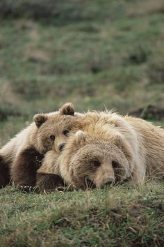 Grizzly Bear mother and cub by Michael Quinton.
