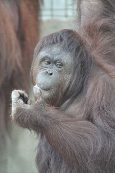 Samboja Lestari Orangutan Release Candidate Profiles