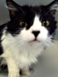 Kevin is an adoptable Domestic Long Hair-Black And White Cat in Staunton, VA. Kevin is a 5 year old neutered male longhair domestic cat. He is very sweet and loves to purr and tread while getting his ...
