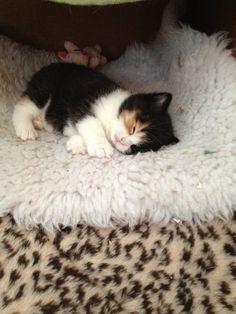 precious kitten nap time