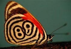 De vlinders (Lepidoptera) zijn ongeveer 145.000 soorten, wat neerkomt op 10% van het totale aantal insectensoorten gevonden op onze planeet. De term vlinder daadwerkelijk overeenkomt met de volwassen vorm (imago) Lepidoptera, waarvan de opeenvolgende transformaties (ei, rups, pop of pop en uiteindelijk vlinder) altijd boeien. Zoek een aantal soorten beelden in deze galerij.  En savoir plus : http://www.maxisciences.com/papillon/papillons-du-monde_art188.html Copyright © Gentside Découverte