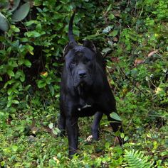 Presa Canario Black Female ~ Looks Like StoRmY!