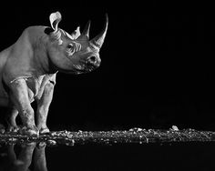 Precious - Ongava, Namibia 2013  The rhinoceros. Picture: DAVID YARROW, THE KENYAN COLLECTION 2014