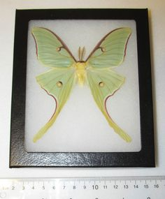 Real Actias Luna Rubrocosta Rare RED Form Framed Butterfly Insect   eBay