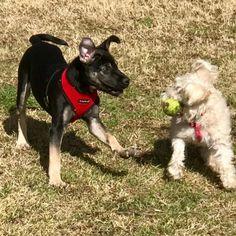 German Shepherd Dog dog for Adoption in Austin, TX. ADN-824601 on PuppyFinder.com Gender: Male. Age: Young