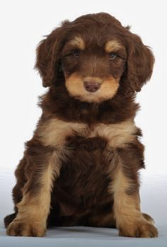 SwissRidge Golden Mountaindoodle. A mix between a goldendoodle and a bernedoodle.