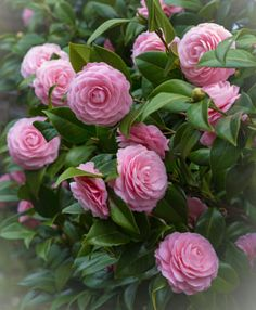 I feel beauty of the flower brought up by oneself and put in a picture. Colorful Flowers, Pink Flowers, Beautiful Flowers, Mary Flowers, Flower Colors, Bonsai Garden, Garden Pots, Flowering Bonsai Tree, Flowering Plants