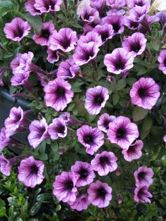 Cascading Petunias for the window boxes Plants That Love Shade, Window Boxes, Petunias, Flower Power, Perennials, Gardens, Outdoors, Flowers, Outdoor Gardens