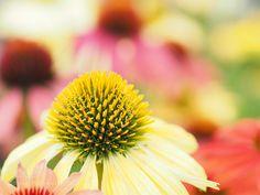Echinacea (Tadashi Yamaura / Okazaki / Japan) #E-M5MarkII #macro #photo #insect #nature