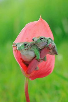 animals beautiful We are sure if you were not a very big frog lover, these amazing frog pictures to understand them better must have made you fall in love with these adorable Nature Animals, Animals And Pets, Baby Animals, Funny Animals, Cute Animals, Funny Frogs, Cute Frogs, Frog Pictures, Animal Pictures