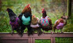 A britânica Ann Congdon e sua filha, Nicola, tiveram uma ideia prática e muito fofa para ajudar galinhas que viveram durante anos em gaiolas industriais. Por terem passado a vida presas em gaiolas climatizadas, as aves não conseguiam se adaptar ao clima normal. Por isso, mãe e filha resolveram tricotar lindos casaquinhos de lã para cerca de 60 delas. Os animais já são velhos e suas penas começam a cair com o tempo.