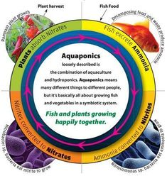 Aquaponics is a combination of aquaculture and hydroponics-- cultivating both plants and fish by taking advantage of their natural cycles. In aquaponics,fish produce waste and the fishy waste-water from the tank is pumped to the grow beds where plants are grown hydroponically (without soil). The plants absorb the nutrients they need from the fishy waste-water while their roots filter the water --stripping it from ammonia, nitrates, nitrites and phosphorus, which is deadly for ...