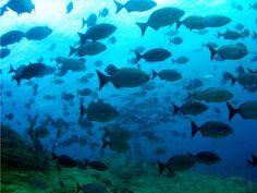 Canarias (El Hierro): Buceo en La Restinga. --- Canaries (Hierro): Plongée sous marine.
