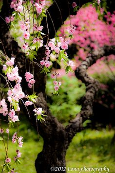 cherry (sakura) blossoms
