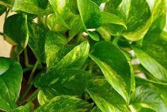 Best for living room - golden pathos (scindapsus aures)