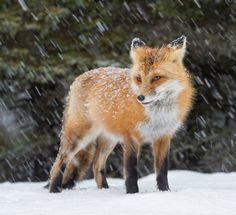 Red Fox by Daniel Parent