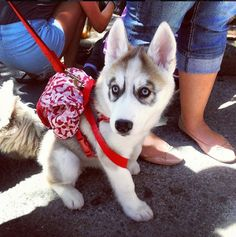 Husky with unique eye markings wearing a fashionable red dog bone  backpack