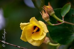 Indonesia name :Waru Flower / Hibiscus Tiliaceus Flower