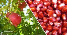 Τα ρόδια είναι τα φρούτα της ζωής και της καλοτυχίας. Ένα από τα πρώτα καρποφόρα δέντρα που καλλιεργήθηκαν στην αρχαιότητα. Τα βρίσκουμε άφθονα στα μανάβικα και στις λαϊκές αγορές τους φθινοπωρινούς και χειμερινούς μήνες και τα τρώμε ωμά ή σε σαλάτες ή μ τα χρησιμοποιούμε στα γλυκά μας. Πολλά έθιμα που σχετίζονται με την καλοτυχία … Trees To Plant, Gardening Tips, Farmer, Seeds, Food And Drink, Home And Garden, Healthy Recipes, Fruit, Vegetables