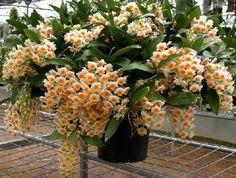 Orquídea Dendrobium thyrsiflorum - Adulta - Jardim Exótico - O maior portal de mudas do Brasil.