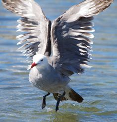 Heermann's gull bird ocean beach